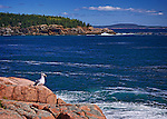 Gull with A View, Acadia National Park, Maine. Available in sizes up to 30 x 45 inches.