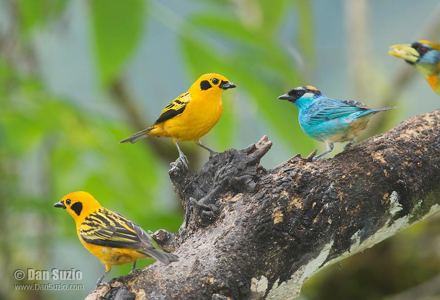 Two golden tanagers, Tangara arthus goodsoni, and one golden-naped tanager, Tangara ruficervix. Tandayapa Valley, Ecuador