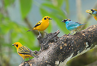 Two golden tanagers, Tangara arthus goodsoni, and one golden-naped tanager, Tangara ruficervix. Tandayapa Valley, Ecuador