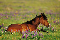 Wild Horse resting among wildflowers.  Western U.S., summer..(Equus caballus)