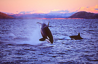 orca or killer whale, Orcinus orca, Leaping completely clear of the sea during herring hunt , Tysfjord, Arctic Norway, North Atlantic