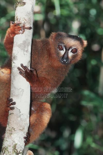 Red-bellied Lemur (Eulemur rubriventer), adult in tree, Madagascar, Africa