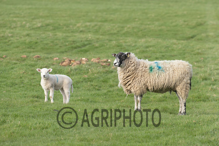 25-3--2021 Ewe with lamb<br /> ©Tim Scrivener Photographer 07850 303986<br />      ....Covering Agriculture In The UK....