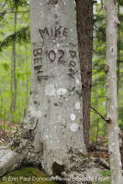 Bartlett Experimental Forest in Bartlett, New Hampshire USA. Initials carved into a Beechnut Tree.