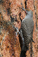 Northern Flicker or Red-shafted Flicker (Colaptes auratus) feeding on sap and/or possibly insects attracted by sap on side of ponderosa pine.  Western U.S., fall.