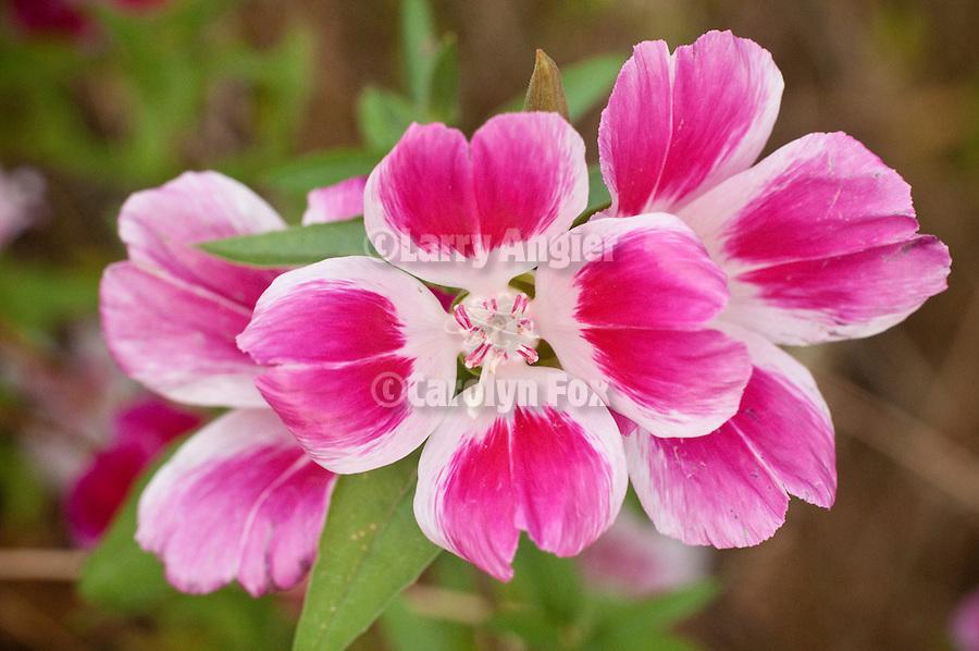 Fairwell to spring wildflower (Clarkia amoena) along SR 88