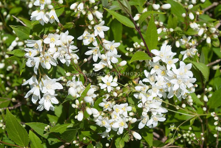 Syringa Beauty of Moscow Lilac in bloom aka Syringa vulgaris 'Krasavitsa Moskvy', white flushed double  flowers