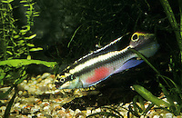 Purpurprachtbarsch, Purpur-Prachtbarsch, Königscichlide, Aquarienkribensis, Aquarien-Kribensis, Weinroter Prachtbarsch, Buntbarsch, Pelvicachromis pulcher, Pelmatochromis pulcher, common krib, red krib, super-red krib, rainbow krib, along with rainbow cichlid, purple cichlid, Le Pelmato