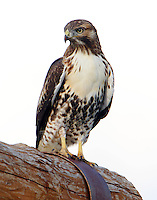 Juvenile light-phase red-tailed hawk