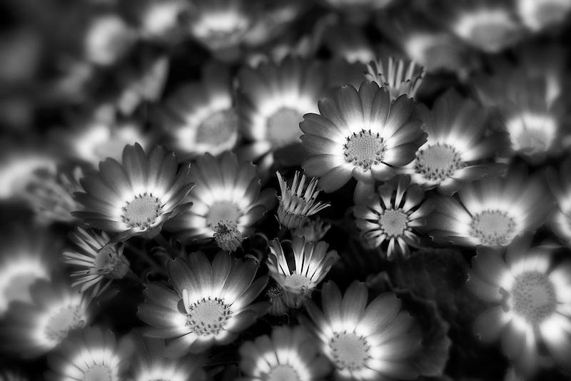 Cineraria blossoms. Oregon