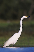Great Egret, Ardea alba, adult, Willacy County, Rio Grande Valley, Texas, USA, May 2004