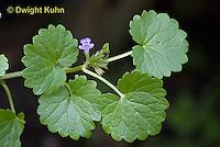 FB08-500z Ground-ivy, Glechoma hederacea