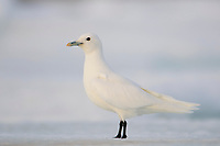 Adult Ivory Gull (Pagophila eburnea). This arctic dependent species appears to be declining rapidly due to climate change. Resolute, Nunavut, Canada. June.