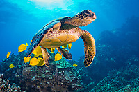 green sea turtle, Chelonia mydas, being cleaned by yellow tang, Zebrasoma flavescens, endangered species, Kohala Coast, Big Island, Hawaii, USA, Pacific Ocean