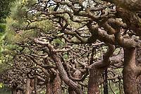 Detail of the artfully sculpted pine trees at Ritsurin Koen, Takamatsu, Japan.