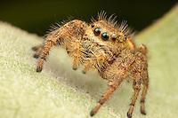 Jumping Spider (Phidippus clarus) - Female, Ward Pound Ridge Reservation, Cross River, New York