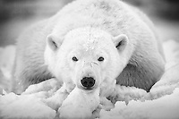 A polar bear cub rests on the ice one the shores of the Beaufort Sea.  Kaktovik, Barter Island, Alaska.