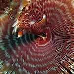 Kenting, Taiwan -- Close-up of the fan worm Sabellastarte indica of the Sabellidae family.<br /> <br /> The pinnate (featherlike) branchiae of this worm are variously banded and are used for filter feeding and respiration.