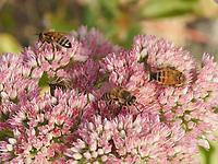 Several honeybees on a flower