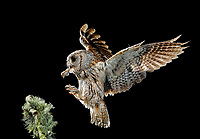Eurasian Scops Owl (Otus scops). Adult flying at night with prey. Salamanca, Castilla y León, Spain