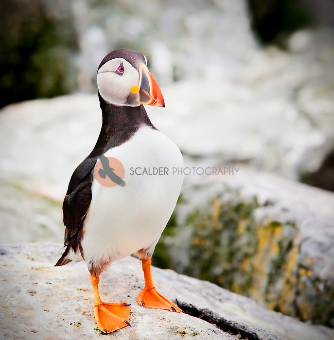 Atlantic Puffiin standing on rocks at Machias Seal Island