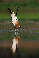 American Avocet (Recurvirostra americana), male stretching wings, Dinero, Lake Corpus Christi, South Texas, USA