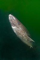 Greenland shark, gurry shark, or grey shark, Somniosus microcephalus, in the estuary of the Saint Lawrence River, Baie-Comeau, Quebec, Canada, Atlantic Ocean