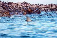 great white shark, Carcharodon carcharias patrols a colony of South African fur seals, Arctocephalus pusillus pusillus, looking for an easy meal, Geyser Rock, South Africa