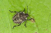 Rotbeinige Baumwanze, Larve, Nymphe, Pentatoma rufipes, forest bug