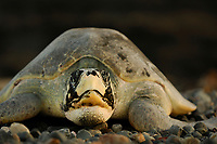 olive ridley sea turtle, Lepidochelys olivacea, note shape of its carapace, Ostional, Costa Rica, Pacific Ocean