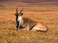 African, wild animal. View of an Eland, with its sharp horns, as it rests lying down. Masai Mara, Kenya.