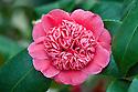 Camellia hybrid 'Christmas Daffodil', glasshouse, early February.