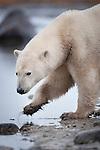 Polar Bear (Ursus maritimus) in stream along the shores of Hudson Bay, Canada in late September.