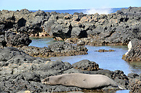 Hawaiian monk seal, Neomonachus schauinslandi, endangered, Kaena Point, Oahu, Hawaii, USA