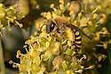 Ivy bee (Colletes hederae) a European solitary mining bee, first recorded in the south of the UK in 2001 that is rapidly spreading northwards. The pollen baskets on the bee's legs are loaded with pollen from Ivy flowers (Hedera helix), an important source of food for pollinators in Autumn. Surrey, UK. October.