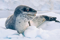 leopard seal, Hydrurga leptonyx, on ice floe, Anvers Island area, Antarctic Peninsula, Antarctica