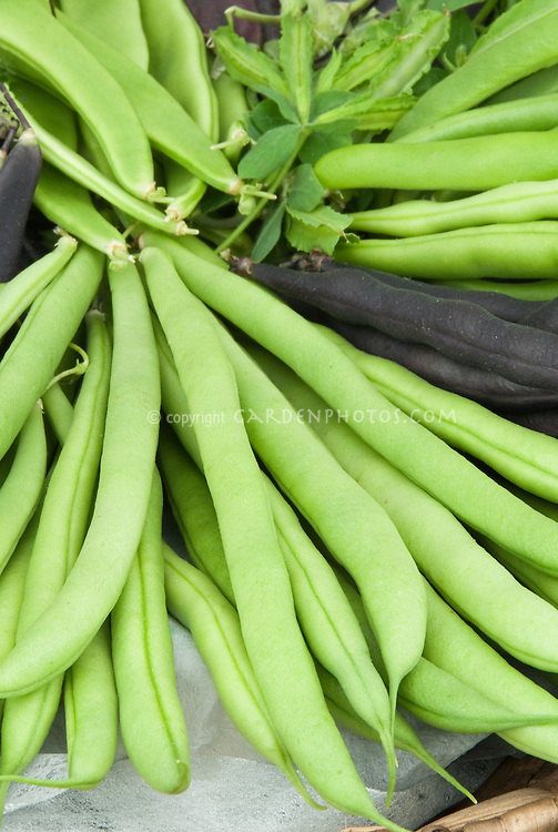 Bean Kentucky Wonder pole beans heirloom variety of vegetable, harvested, with Purple Teepee