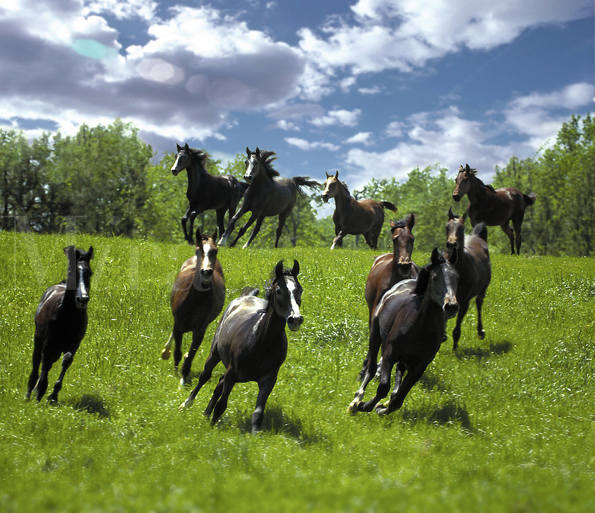 Herd of Arabian mares gallop down a hill.