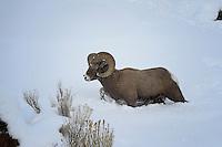Bighorn Ram belly deep in snow, Cody, Wyoming