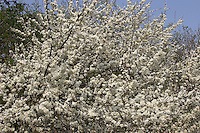Gewöhnliche Schlehe, Schwarzdorn, Prunus spinosa, Blackthorn, Sloe, Epine noire, Prunellier