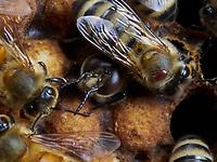 The birth of drones in the brood surrounded by nurse bees. A parasite, the varroa destructor, is on one of the nurses. The varroa often use the drones' cells to raise their offspring.<br /> Naissance d'un faux-bourdon sur le couvain entouré de nourrisses. Sur une nourrisse, un parasite, le varroa destructeur. Les varroa utilisent souvent les cellules des faux-bourdons élever leur descendance.