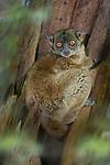 Antafia Sportive Lemur (Lepilemur aeeclis). Katsepy forest, north west Madagascar.