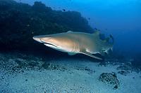 sand tiger shark, grey nurse shark, spotted ragged-tooth shark, Carcharias taurus, Nine Mile Reef, Tweed Heads, New South Wales, Australia, South Pacific Ocean