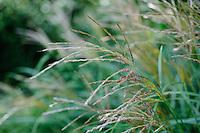Miscanthus Sinensis Abundance ( formerly known as Yakushima Dwarf)
