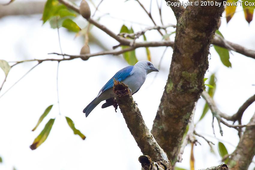 Blue-grey Tanager, Quirigua, Guatemala
