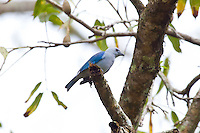 Blue-grey Tanager, Quirigua, Guatemala