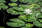 Fragrant White Water Lilies in the Middlesex Fells Reservation, Medford, Massachusetts, USA
