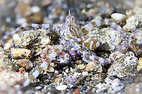 Wunderpus photogenicus baby