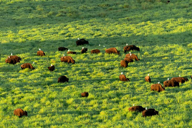Cows with egtrets on their backs. Kauai, Hawaii