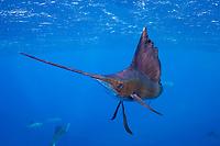 pelagic Atlantic sailfish, Istiophorus albicans or platypterus, off Yucatan Peninsula, Mexico (Caribbean Sea) (dm)